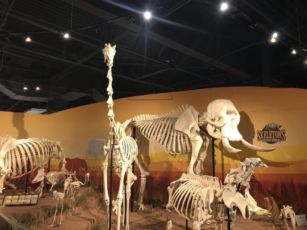 African animal skeletons at Skeletons Museum